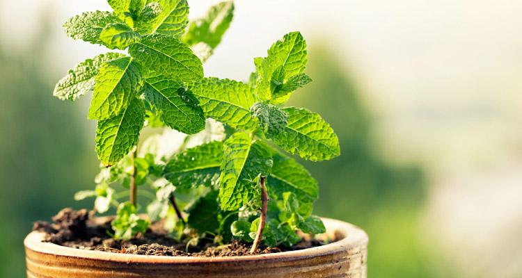 Şifalı Bitkiler ve Özellikleri